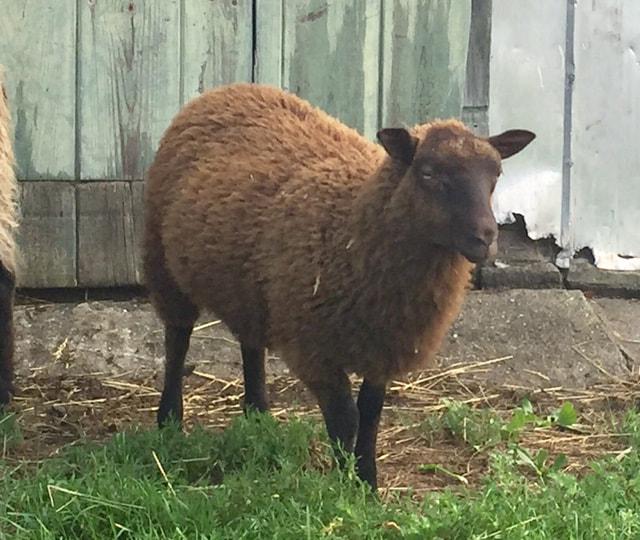 Maybelle Farm Registered Shetland Sheep - Farm Blog